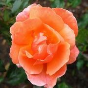 Розы Фрагрант Делайт