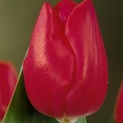 Тюльпаны Йоска