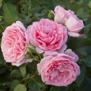 Розы Комтесс де Сегур