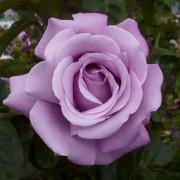 Розы Шарль де Голль