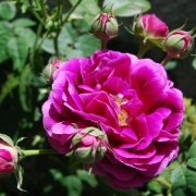 Розы Валферданге