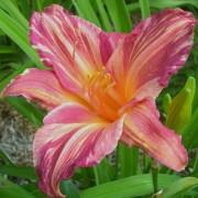 Daylily Pink Stripes
