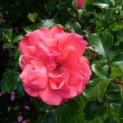 Розы Фассадензаубер