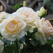 Розы Мария Антуанетта