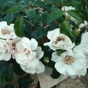 Розы Айс Мейландекор