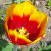 Тюльпаны Кис Нелис