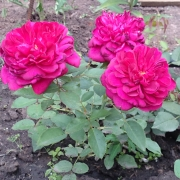 Розы Дэрси Бусселл