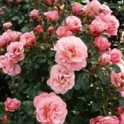 Розы Хафниа