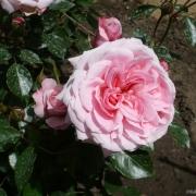 Розы Октавиа Хилл