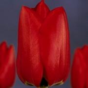 Тюльпаны Лефеберз Мемори