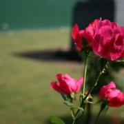 Розы Роуз оф Пикарди