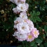 Розы Литтл Рамблер