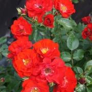 Розы Канзонетта
