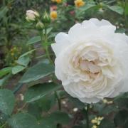 Розы Винчестер Кафедрал