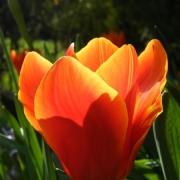 Тюльпаны Супри Джевел