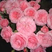 Розы Роял Боника