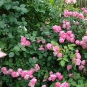 Les roses Raubritter