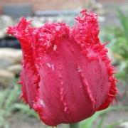 Тюльпаны Барбадос