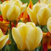 Тюльпаны Джап Грот