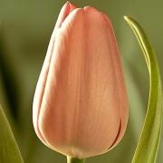 Тюльпаны Саутернес
