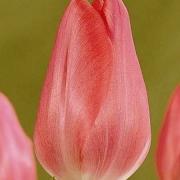 Тюльпаны Фузарино