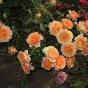 Розы Пич Меилландина