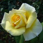 Розы Николас Хулот