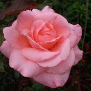 Розы Кэтрин МкГреди