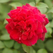 Розы Вельвет Фрагранс