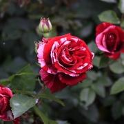 Розы Импрешн