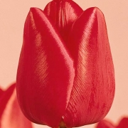 Тюльпаны Олаф
