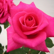 Розы Петер Франкенфелд