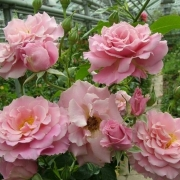 Розы Ханса Парк