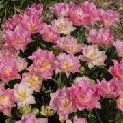 Тюльпаны Триумфатор