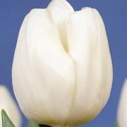Тюльпаны Уайт Идеал