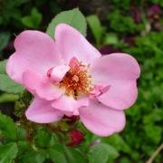 Розы Свит Хейз
