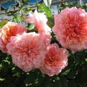 Розы Версигни