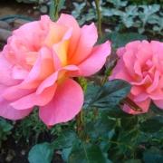 Розы Шанти