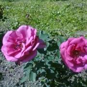 Розы Пароль