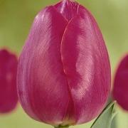 Тюльпаны Перпл Стар
