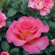 Розы Пинк Парадайз