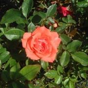 Розы Хула Герл