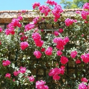 Розы Гитес де Франс