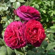 Розы Астрид Граффин фон Харденберг