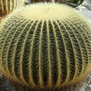 Комнатные растения Эхинокактус