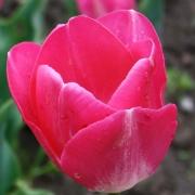 Тюльпаны Прелюдиум