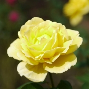 Розы Солидор