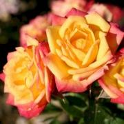Розы Литтл Сансет