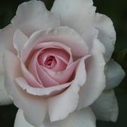 Розы Э Вайтер Шейд Оф Пейл