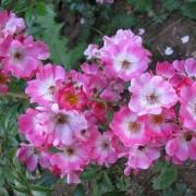 Розы Ричард Штраусс